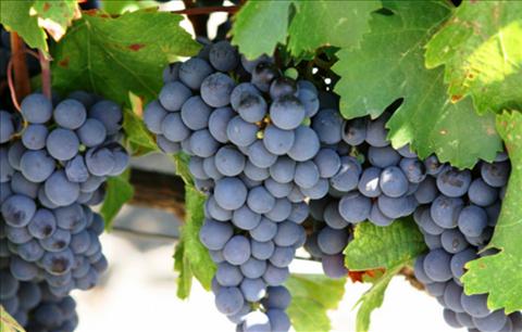 チリ、マイポ・ヴァレーワイン特徴3