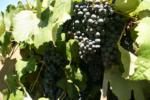 パソ・ロブレスワインの特徴。アメリカの中のローヌ