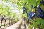 ナパ・ヴァレーワインの特徴は? 味わいも歴史もリッチで濃密です!