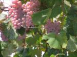 日本のワインもこんなに良い!山形のワインを見てみよう!